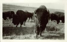Buffalo in Wainwright's Park. [Wainwright]: Bell Photo, [1910]. PC005127, courtesy of Peel's Prairie Provinces.