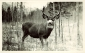A handsome buck, Jasper Park. Photographed and Copyrighted by G. Morris Taylor, Jasper, Alberta, circa 1940. peel.library.ualberta.ca/postcards/PC007912.html