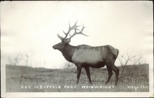 Elk in Buffalo Park, Wainwright, Bell Photo, circa 1910. Courtesy of Peel's Prairie Provinces, http://peel.library.ualberta.ca/postcards/PC005162.html