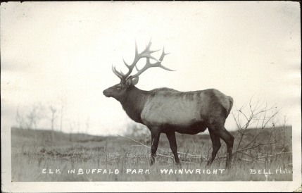 Elk in Buffalo Park, Wainwright, Bell Photo, circa 1910. Courtesy of Peel's Prairie Provinces, http://peel.library.ualberta.ca/postcards/PC005162.html